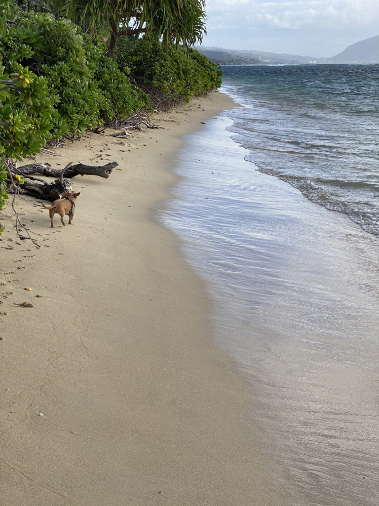Otto, the Faithful OnoWienerDog enjoys a new tropical island.
